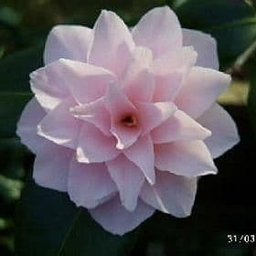 Camellia 'Otome' - Find Azleas,Camellias,Hydrangea and Rhododendrons at Loder Plants